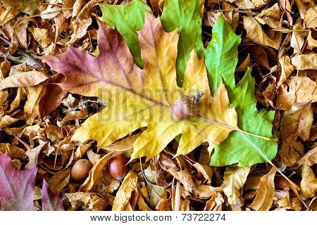 Autumn Leaves And Acorn