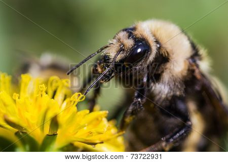 Bumble Bee Close Up