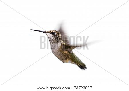 Hummingbird On White