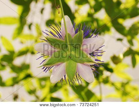 Rear Of Purple Haze Passiflora