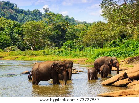 Group of elephans in jungle river