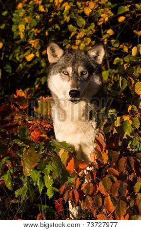 Wolf in fall foliage