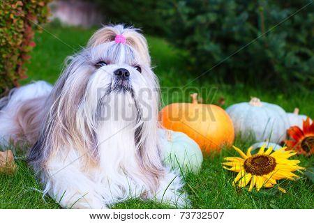 Shih tzu dog with pumpkins.