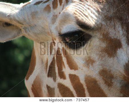 Reticulated Giraffe Face