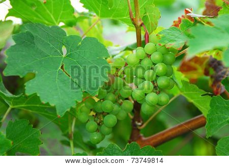 Green Delicious Grape