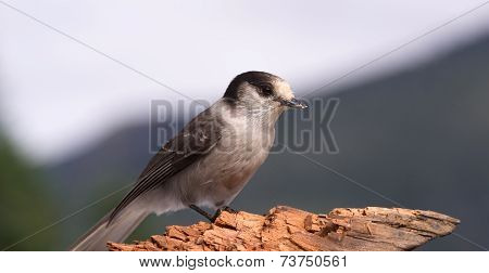 Gray Jay Whiskey Jack Bird Watching Animal Wildlife