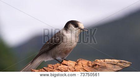 Gray Jay Whiskey Jack Bird Watching Animal Wildlife