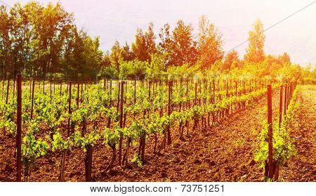 Beautiful grape valley, bright sunset, agricultural landscape, autumn nature, harvest season, ripe juicy fruits, vineyard, vine production, viticulture concept