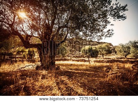 Big beautiful olive tree, bright sun beams, countryside landscape, olives cultivation, olive oil industry, autumn season, agriculture and farming concept