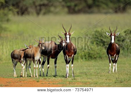 A family group of bontebok antelopes (Damaliscus pygargus dorcas), South Africa