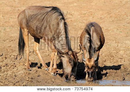 Blue wildebeest (Connochaetes taurinus), drinking water, Pilanesberg National Park, South Africa