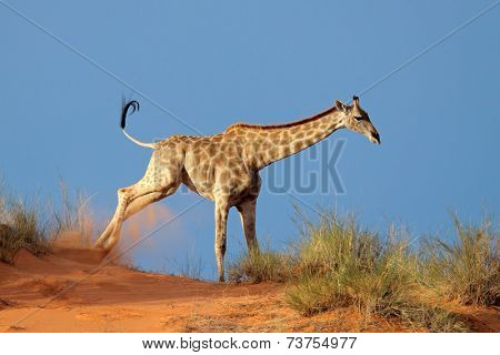 Giraffe (Giraffa camelopardalis) running on a sand dune, Kalahari desert, South Africa