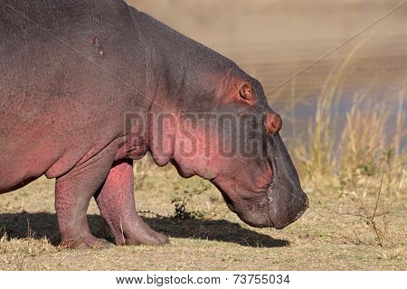 Close-up of a hippopotamus (Hippopotamus amphibius) outside the water, South Africa