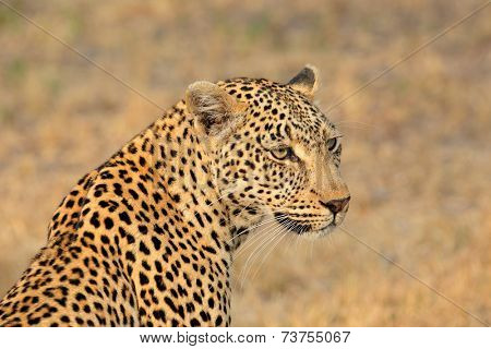 Portrait of a leopard (Panthera pardus), Sabie-Sand nature reserve, South Africa