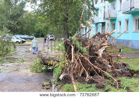Torn poplar after Hurricane