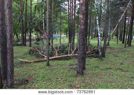 Fallen pine trunk broken after Hurricane