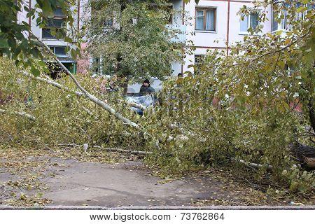 Fallen after Hurricane poplar crushed car