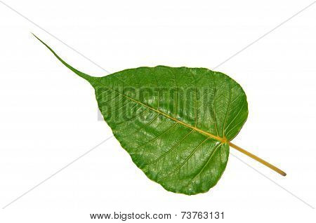 Green Bodhi Leaf