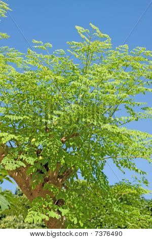 Moringa oleifera (the tree of life)
