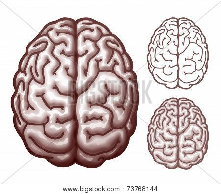 Brain. Top view