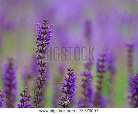 Bright Purple Lavanda Flowers In The Field