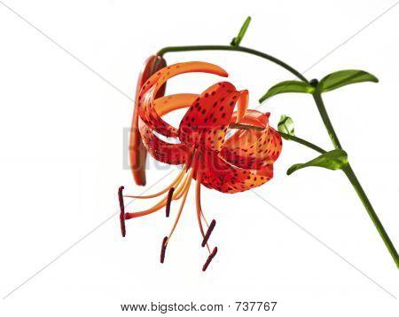 Lilium lancifolium