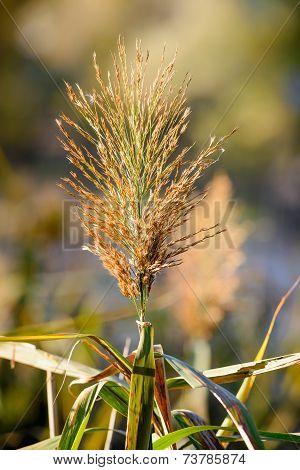 Bulrush Flower
