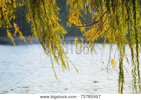 Weeping Willow Curtain