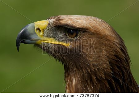 Close-up Of Golden Eagle Head Looking Up