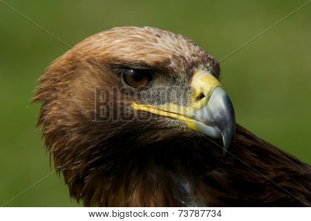 Close-up Of Golden Eagle With Turned Head