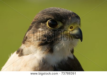 Close-up Of Peregrine Falcon Head Facing Right