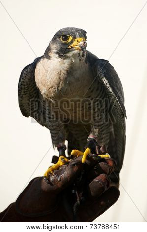 Close-up Of Peregrine Falcon On Falconry Glove