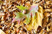 stock photo of linden-tree  - Autumn Oak tree leaves and acorn on a carpet of dry linden leaves - JPG