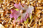 image of linden-tree  - Autumn Oak tree leaves and acorn on a carpet of dry linden leaves - JPG