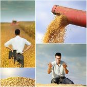 image of soybeans  - Collection of soybean field and harvesting images - JPG