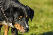 stock photo of irresistible  - An irresistibly cute black dog a close up - JPG
