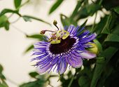 foto of tendril  - A single Purple Haze Passiflora flower an evergreen tendril climbing vine - JPG