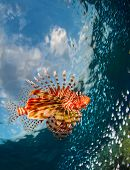 foto of lion-fish  - Lion fish swimming over coral reef - JPG