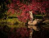 pic of apex  - Grey Wolf standing on rock in early morning sun - JPG