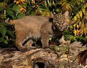 picture of bobcat  - Bobcat walking on log looking towards camera - JPG