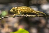 picture of chameleon  - Highly detailed image of Colorful chameleon of Madagascar  - JPG