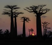 stock photo of baobab  - Sunset over Alley of the baobabs Madagascar - JPG