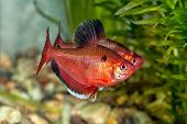 picture of freshwater fish  - Tropical freshwater aquarium fish from genus Hyphessobrycon.