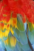 pic of green-winged macaw  - Macaw feathers background - JPG