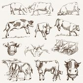 picture of animal husbandry  - cow - JPG