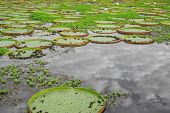 pic of wetland  - Closeup of river with Victoria Regias in Brazilian Panantal wetlands - JPG