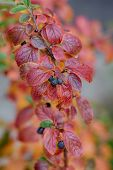 picture of chokeberry  - branch chokeberry with ripe berries close up - JPG