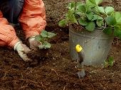 picture of strawberry plant  - planting young strawberry plants grown from runners - JPG