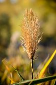 stock photo of bulrushes  - Bulrush flower close to the lake in autumn - JPG