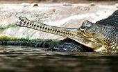 pic of crocodilian  - Gharials  - JPG